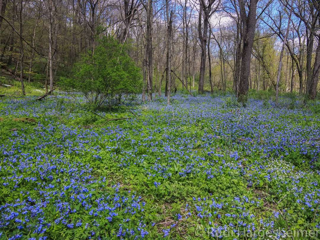 Virginia Bluebells bloom in early May at Carley State Park