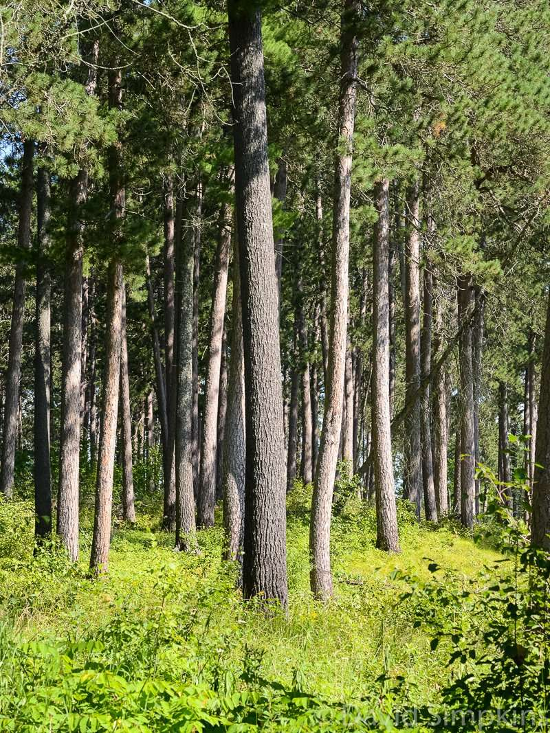 Itasca's pines at Itasca State Park