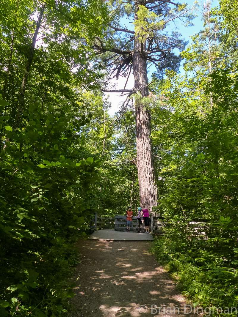 Minnesota's largest white pine off Wilderness Drive at Itasca State Park