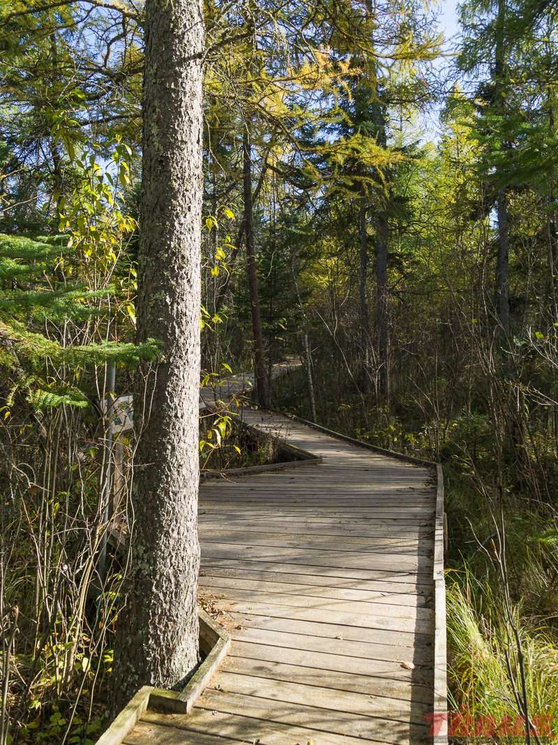The bog walk through the conifer bog at Lake Bemidji State Park