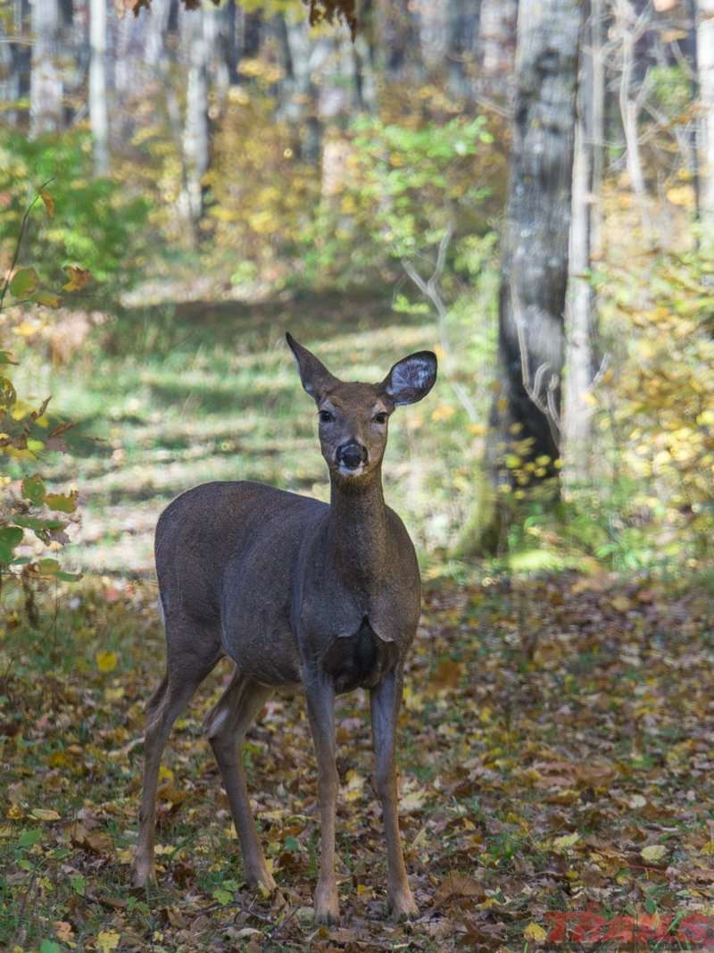 Deer and other critters are a common site on the trails at Mille Lacs Kathio State Park