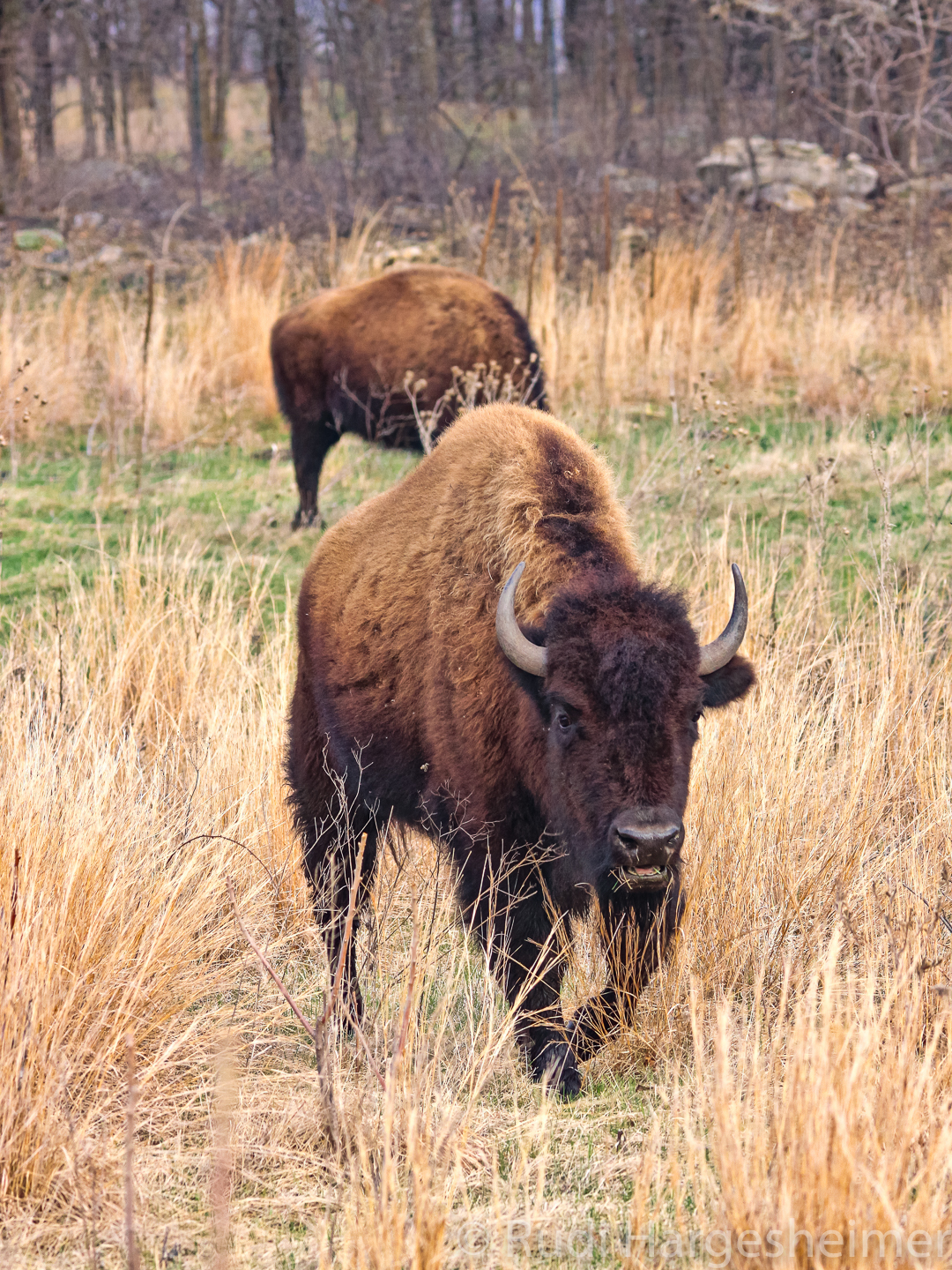 The goal is to eventually have a herd of about 40 bison here at Minneopa State Park