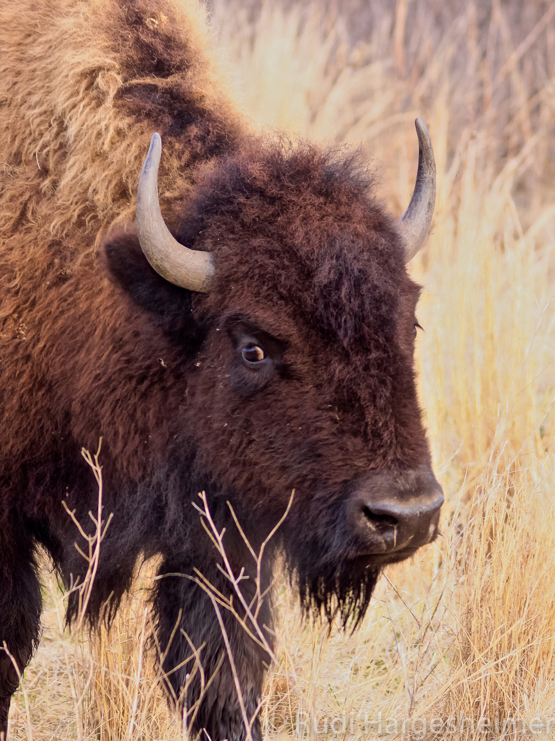 The bison at Minneopa are descendants of those reintroduced to Blue Mounds State Park and the Minnesota Zoo