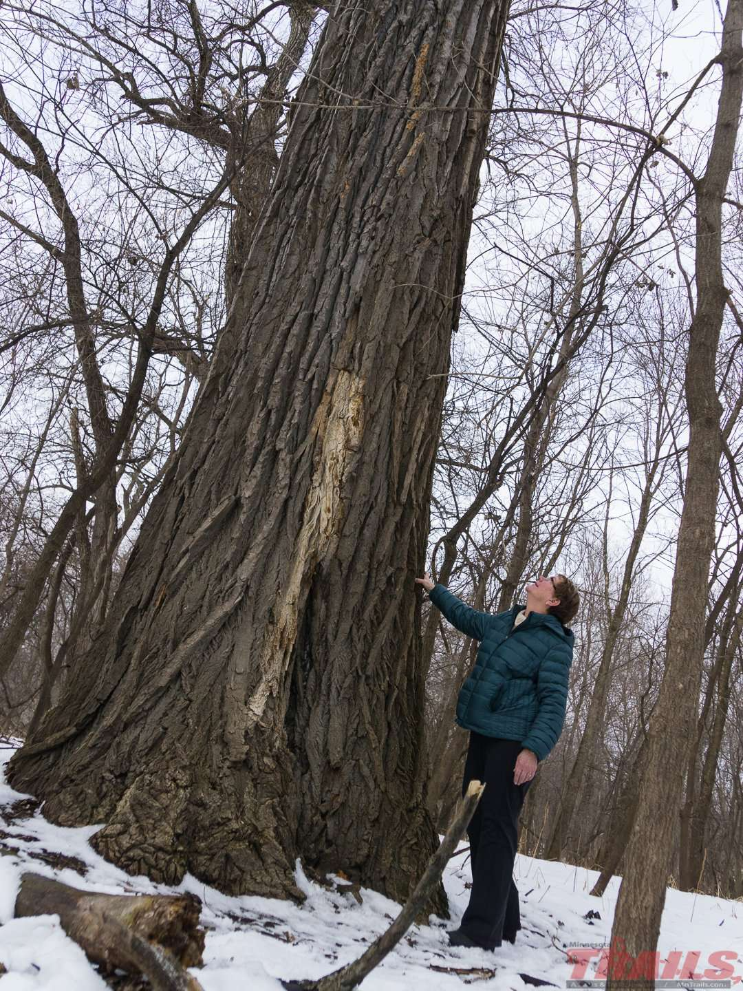 Cottonwoods on Pike Island can dwarf humans at Fort Snelling State Park