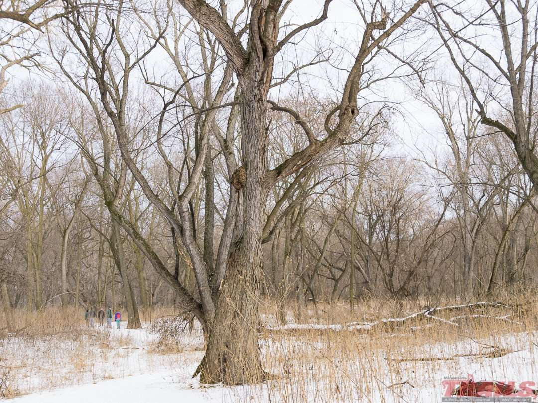 Cottonwood tree on Pike Island at Fort Snelling State Park