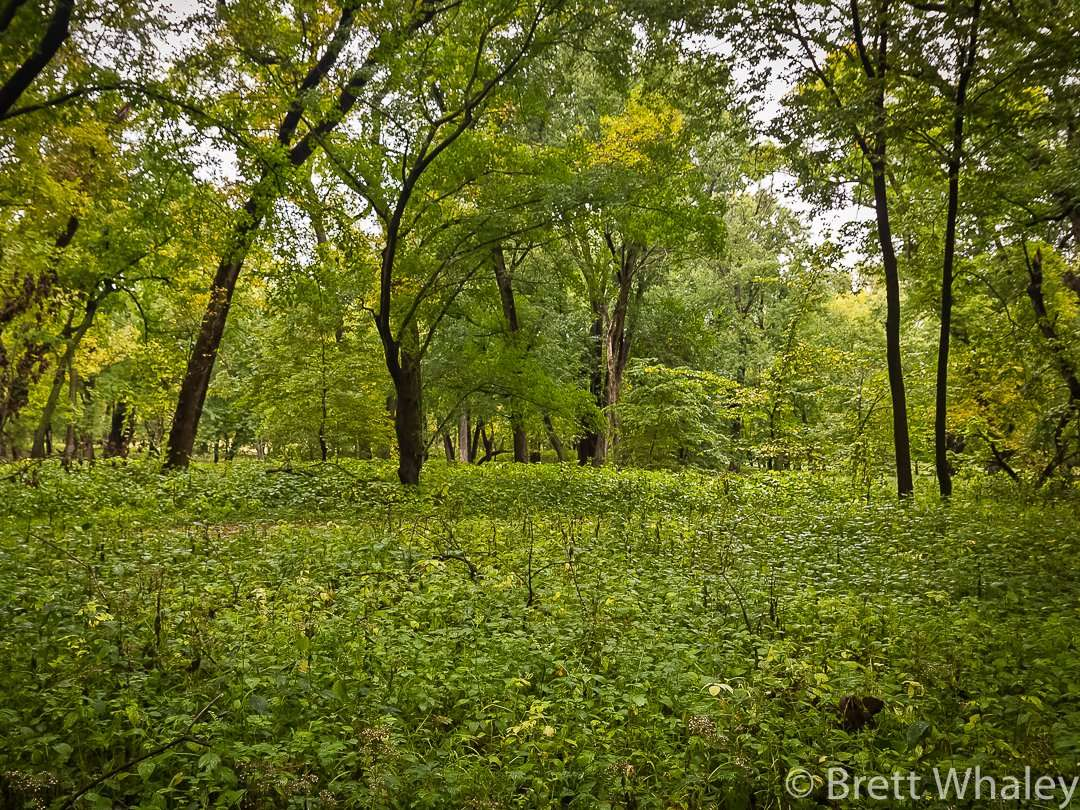 Lush river bottom green on Pike Island at Fort Snelling State Park