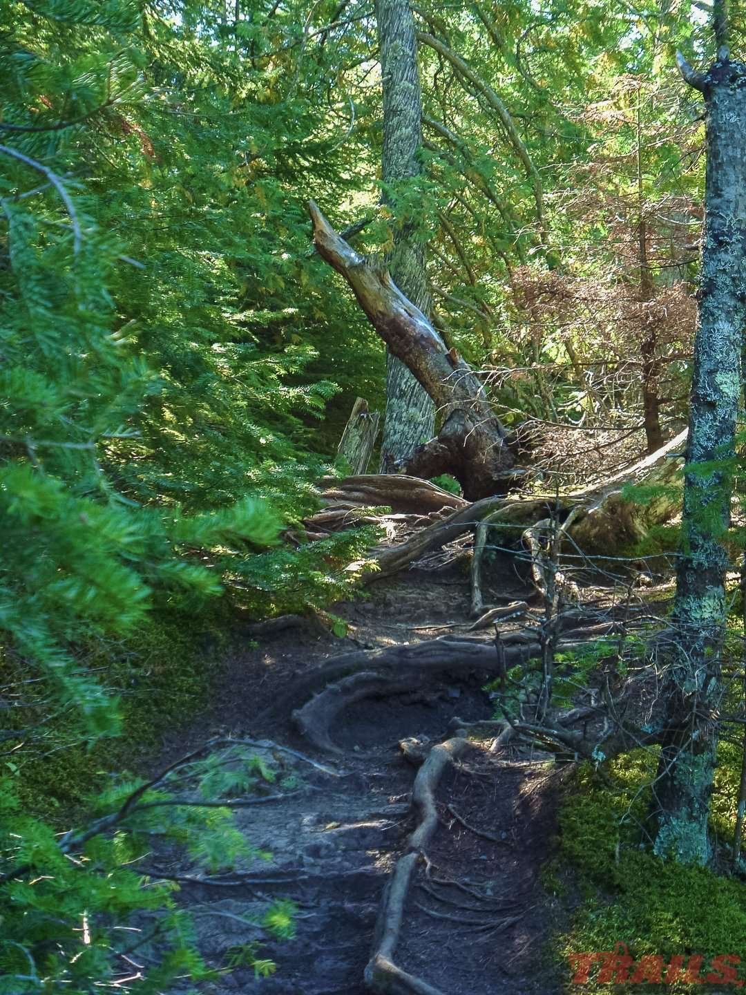 Exposed roots on a hiking trail at Judge C.R. Magney State Park