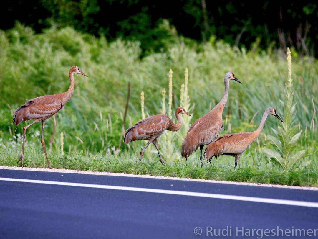 Sandhill Cranes are frequent visitors to the park at Whitewater State Park