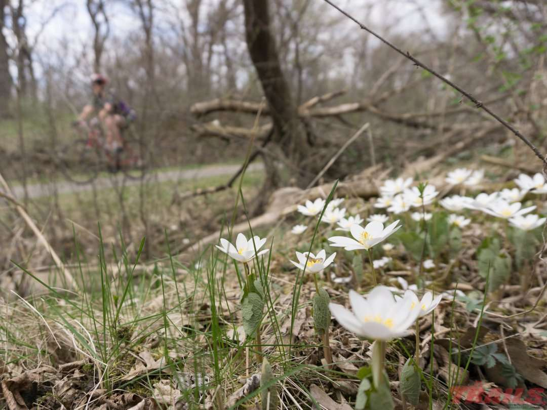 Wildflowers like Bloodroot bloom along the trail in the spring on the Glacial Lakes Trail