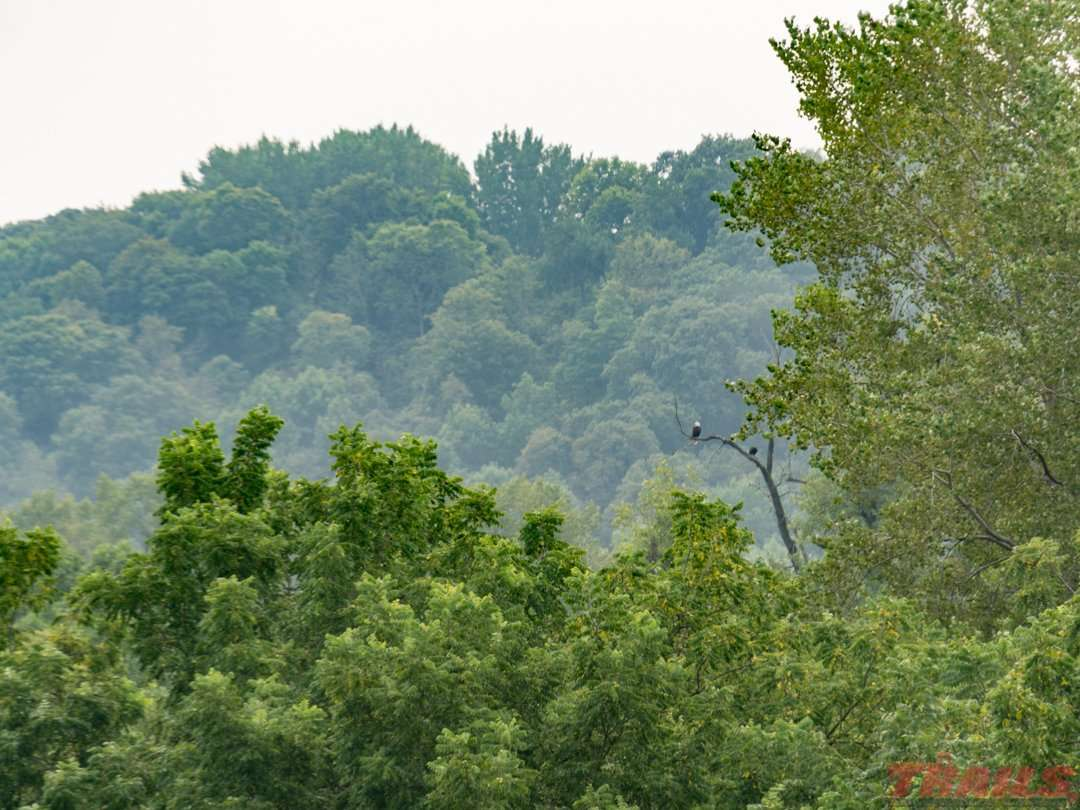 Eagles watch the banks of the Le Sueur River on the Red Jacket Trail