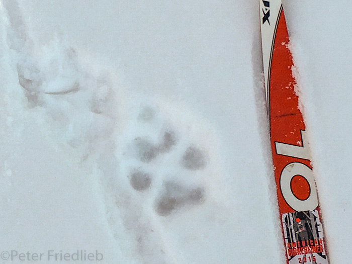 Wolf tracks next to a ski in the snow