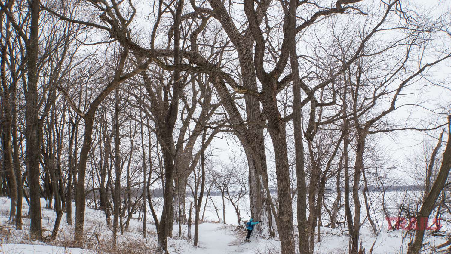 A woman puts her arms around the trunk of a huge cottonwood tree in the winter