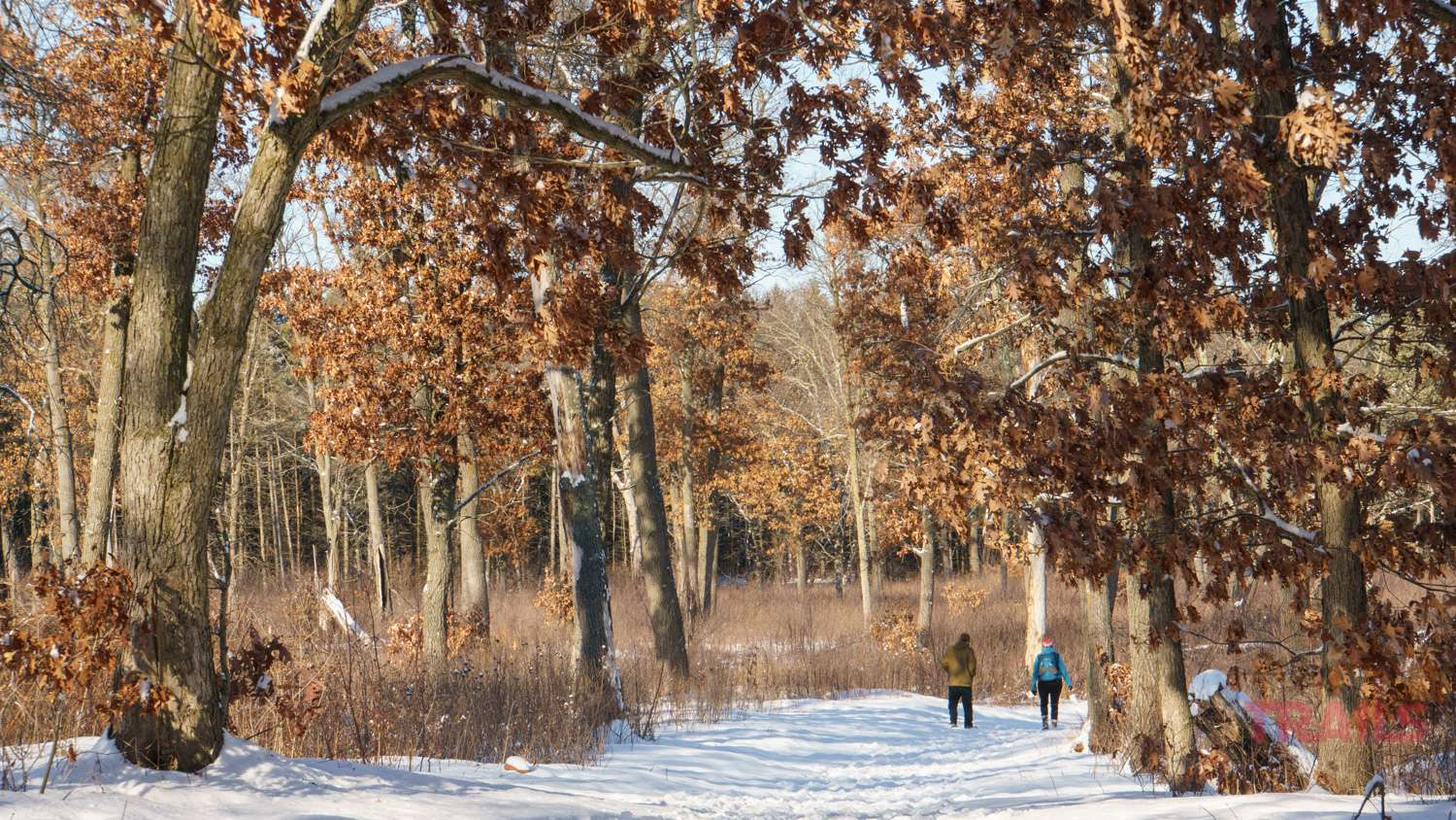 A man and a woman walk through a snow covered field dotted with oak trees in the winter