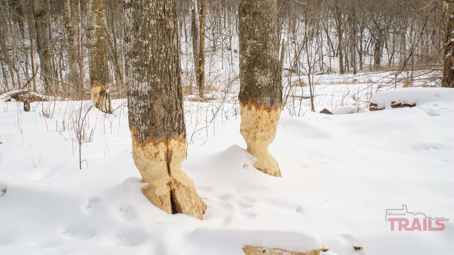 Tree trunks chewed on by beavers