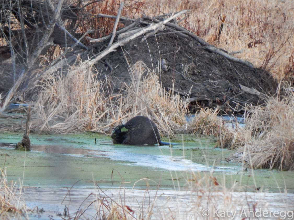 A beaver on the edge of a river