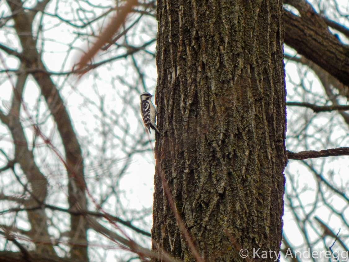 A downy woodpecker on a tree trunk