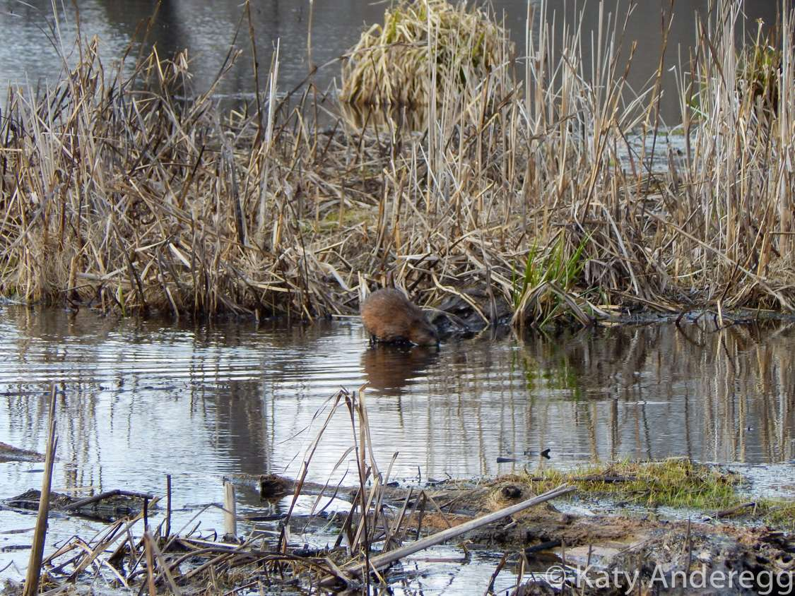 A muskrat on the edge of a river