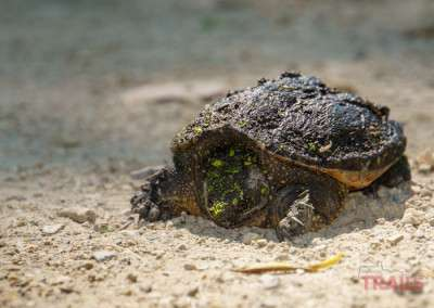 A closeup of a young snapping turtle at Ritter Farm Park in Lakeville MN