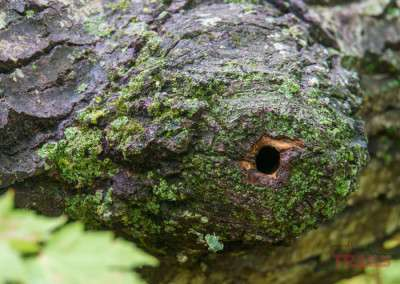 A closeup photo shows where a missing branch has left a hole in a tree