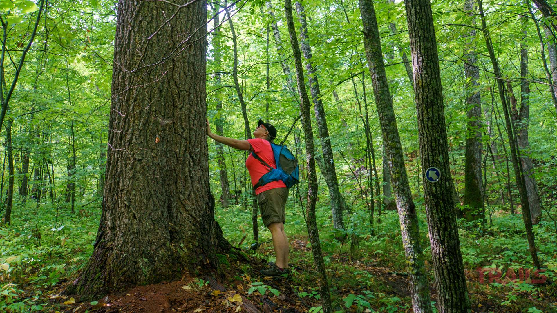 A woman with a blue backpack pauses on a hike to take a closer look at a large tree