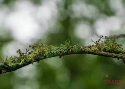 A closeup of a tree branch shows lichen and moss wet from rain