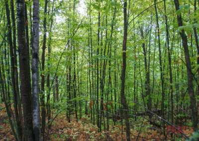 A stand of young trees shades the forest floor on a hiking path